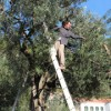 Making Extra Virgin Olive Oil, One 300 year old olive tree