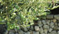 Kameni Dvori Konavle Farm Olives