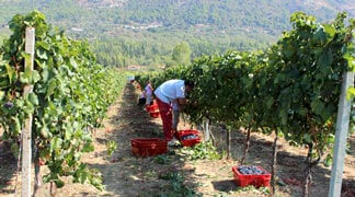 Grape Picking in Dubrovnik