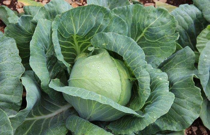 Cooking School Cabbage