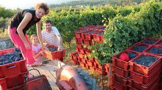 Grape Picking in Konavle, Croatia