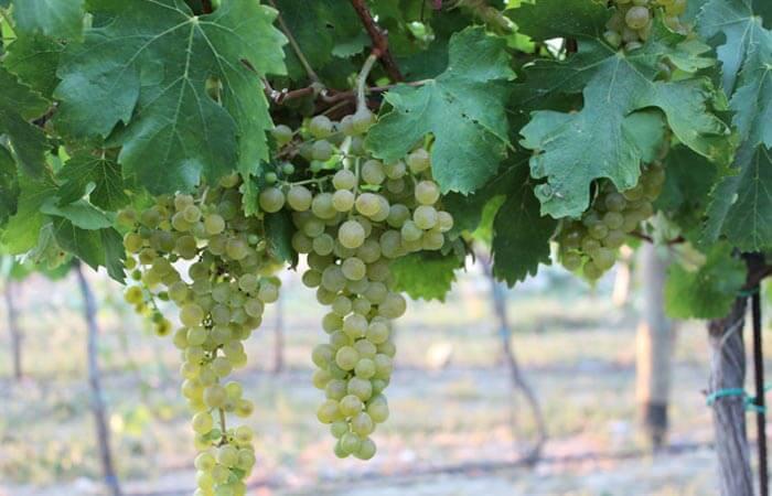 Konavle Grapes Malvasia