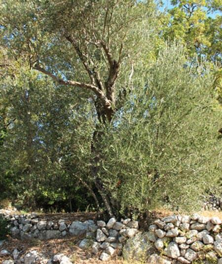 Kameni Dvori Olive Tree