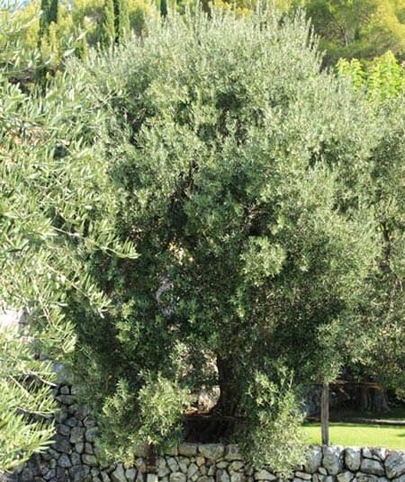 Konavle Olive Trees