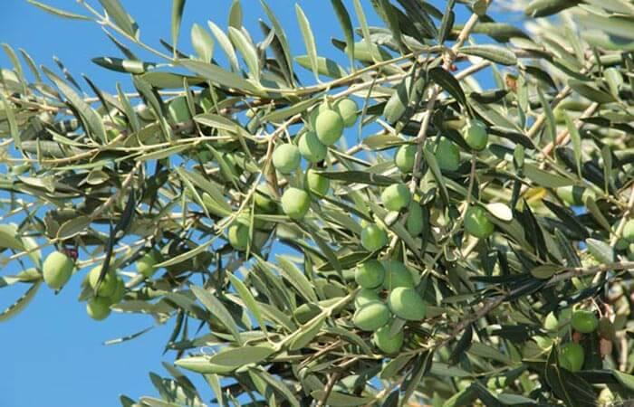 Organic-Olives
