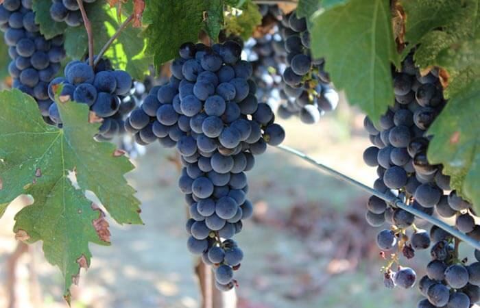 Kameni Dvori Red Merlot Grapes