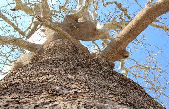 Konavle St Blaise Monastry old tree