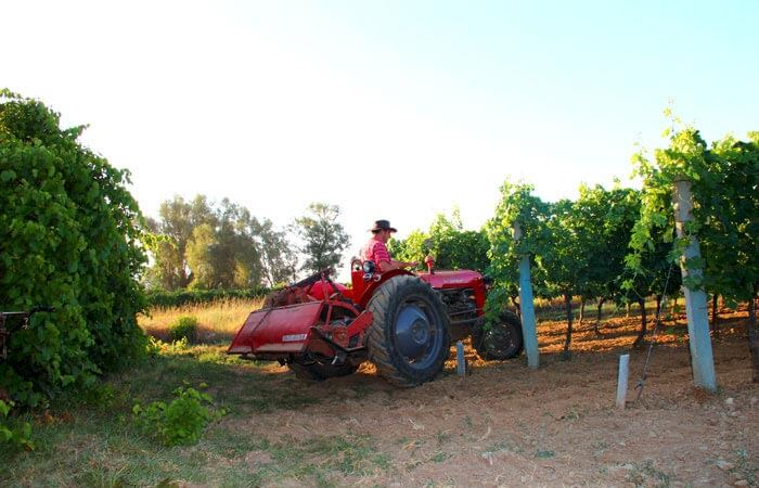 Kameni Dvori Konavle Vineyard work