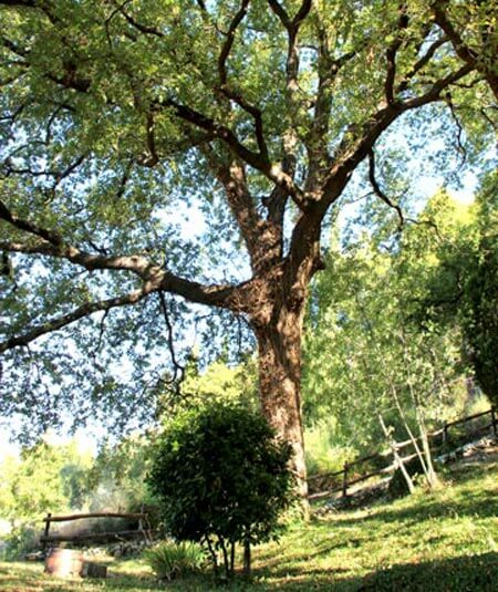 Kameni Dvori Property Old Oak tree