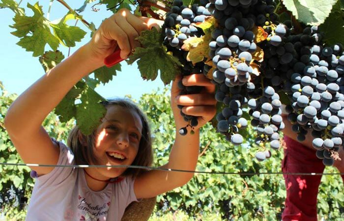 Kameni Dvori grape picking Konavle farm activity
