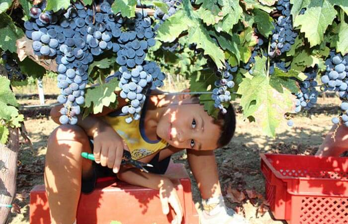 Grape picking Konavle farming