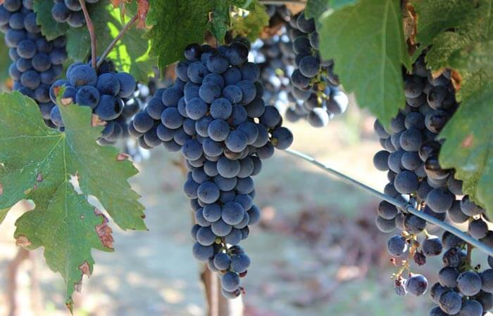 Kameni Dvori grape picking Konavle red grapes