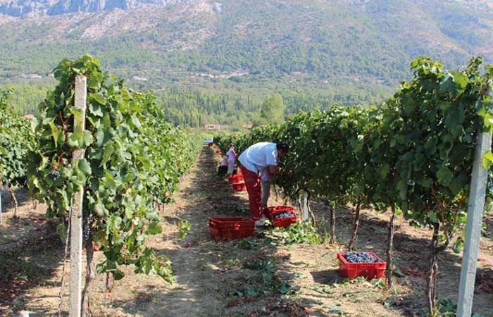 Kameni Dvori grape picking Konavle Dubrovnik