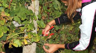 Grape Picking in Konavle, Dubrovnik